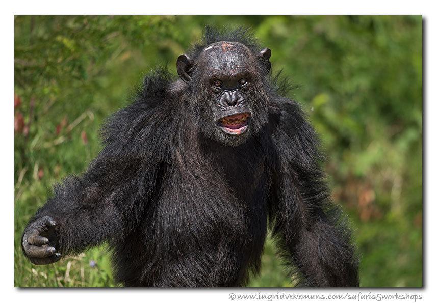 """Hulk - """"Kom je me bezoeken?"""" ;-)  Chimpanzee in Ol Pejeta, Kenia.  Er zijn nog slechts enkele plekjes vrij voor de Ongerept Afrika fotosafari. Boekinge - foto door IngridVekemans op 27-02-2017 - deze foto bevat: natuur, dieren, safari, aap, afrika, wildlife, kenia, mensaap, chimpanzee, fotoreis, fotoreizen, fotosafari"""