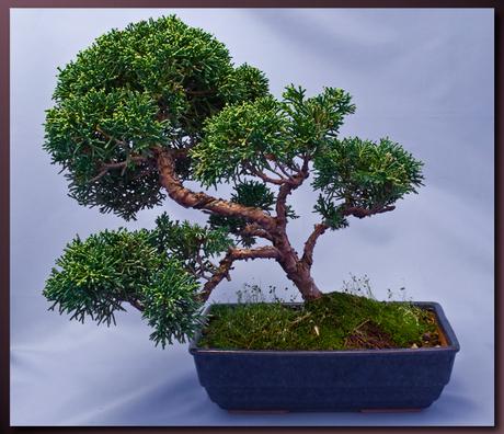 Bonsai 2