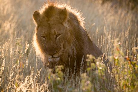 leeuw in tegenlicht