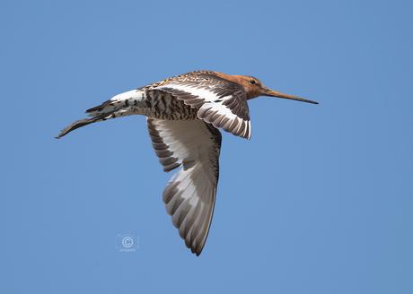 Grutto in vogelvlucht