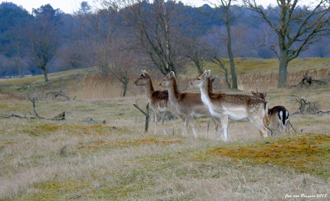 """De Eerste Linie.. - Damherten, en vooral damherthindes staan vaak in een grotere groep te eten. Wat bijzonder is aan deze dieren is dat er altijd een """"eerste linie"""" aanw - foto door Redfox16 op 02-04-2018 - deze foto bevat: natuur, dieren, hert, awd, wildlife"""