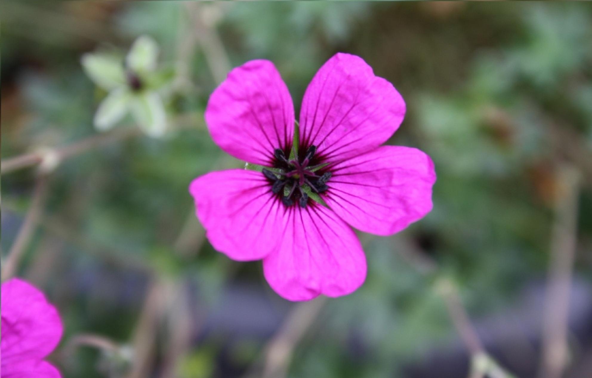 Roze Bloem - Roze Bloem - foto door fotograafwes op 23-07-2011 - deze foto bevat: roze, plant, bloem, natuur