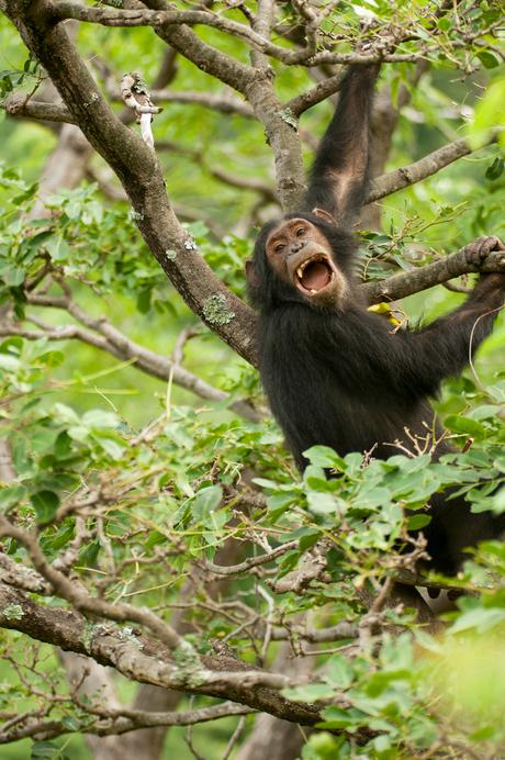 Chimp juvenile screaming Tabora.jpg