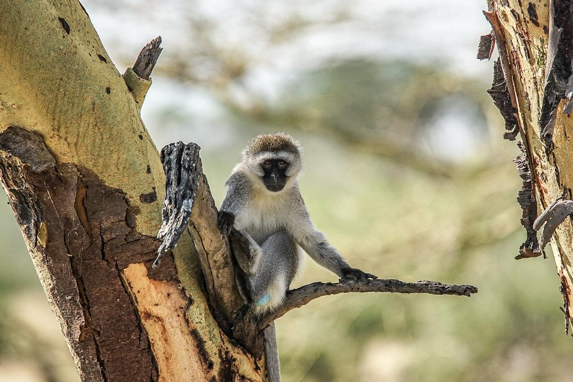 Pottenkijkers, dat zijn jullie. - - - foto door lommer op 10-10-2018 - deze foto bevat: dieren, safari, aap, afrika