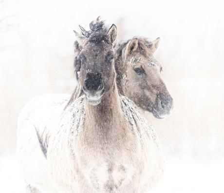 Winter bij de Konikpaarden