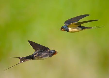 JACHTESKADER - Heel laag in scheervlucht over het grasland, jagend op insecten. - foto door swimmaster op 04-07-2013 - deze foto bevat: in, jacht, zwaluw, vlucht, flight, hunting, swallow, jagend, Scheervlucht