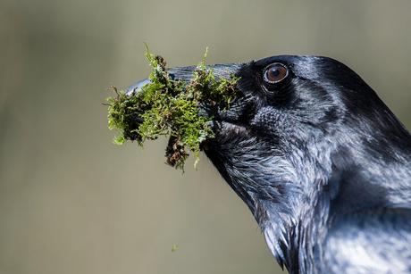 Raaf werkt aan nest