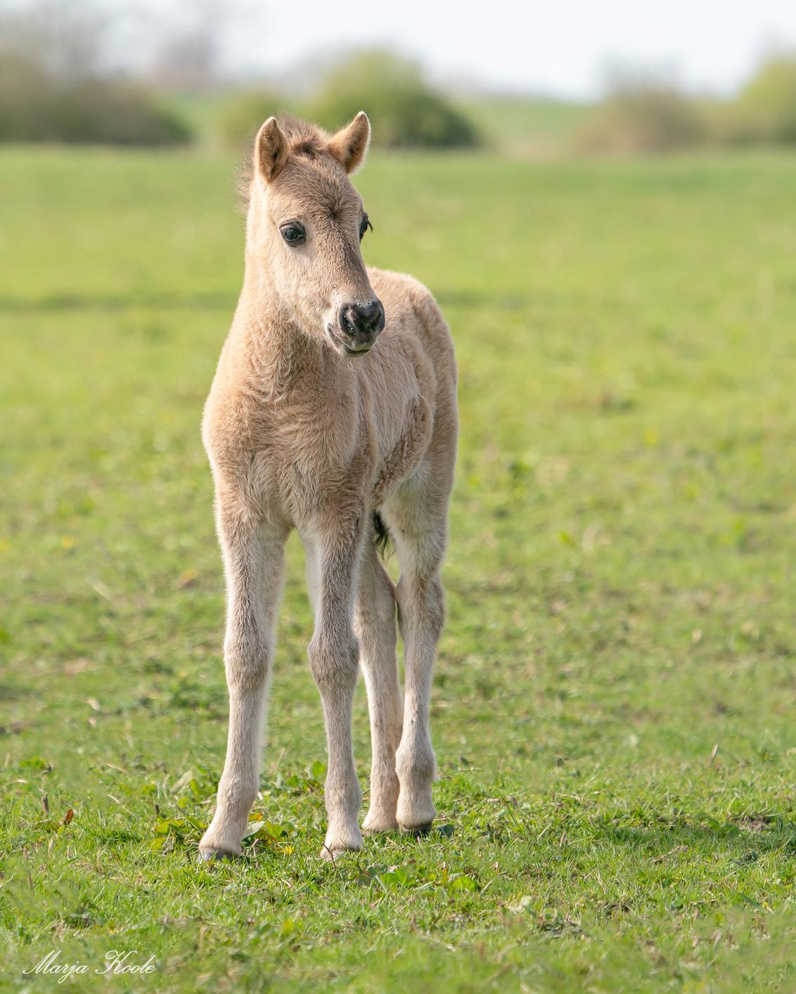 Jong leven - In natuurgebied De Blauwe Kamer bij Wageningen leeft een kudde Konik paarden. Daar waren inmiddels 3 veulens geboren. Meestal dicht bij mamma lopend, - foto door Marja8032 op 05-04-2021 - deze foto bevat: natuur, paard, veulen, konik