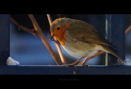 My First Robin - Achter dubbelglas geschoten ;)   ThanX voor de reacties op mijn vorige upload  Stan - foto door stanga op 13-02-2010 - deze foto bevat: stanga