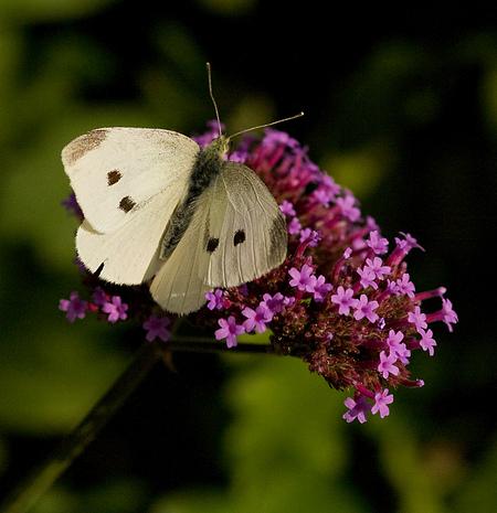 Witje - Bedankt voor de reacties. - foto door k.tien op 30-08-2012 - deze foto bevat: vlinder