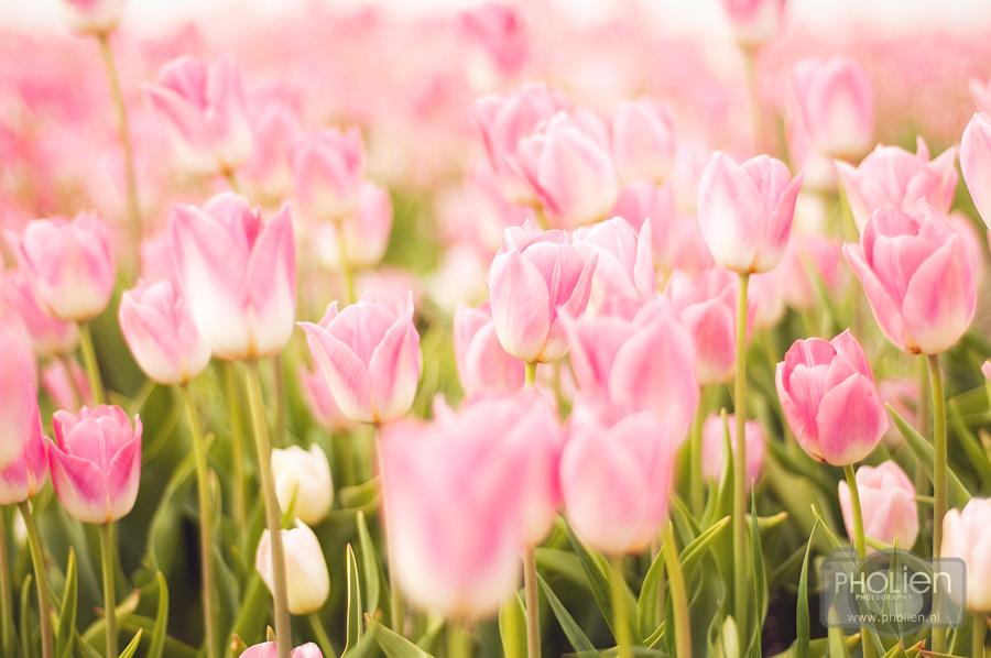 Roze tulpen - Tja, weer eens wat anders geprobeerd met tulpen! Zie hier het resultaat! - foto door Alina1987 op 16-05-2011 - deze foto bevat: roze, tulpen, natuur, rose, bloei, bloeien, alina, pholien