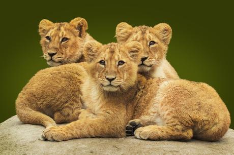 Three Little Lions