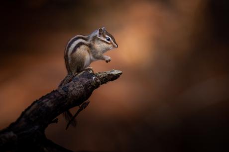 grond eekhoorn genieten in de herfstzon