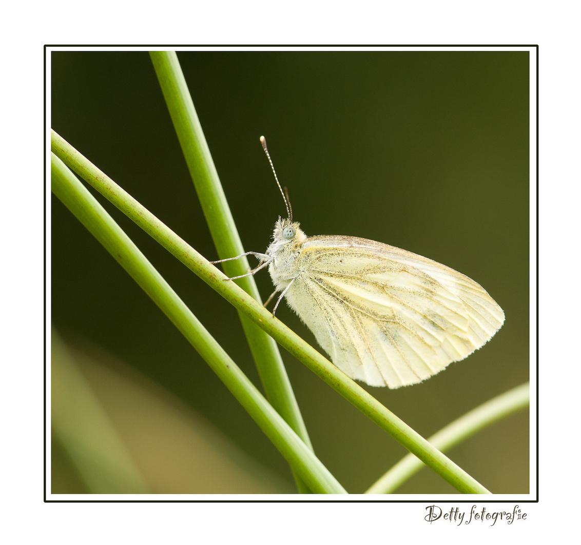 Mikado - Dit geaderd witje, zat op meerdere stokjes.  groetjes Detty - foto door dettyverbon op 20-07-2012 - deze foto bevat: vlinder, witje, Geaderd witje