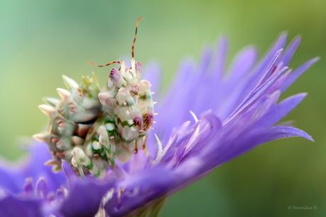 bloembidsprinkhaantje