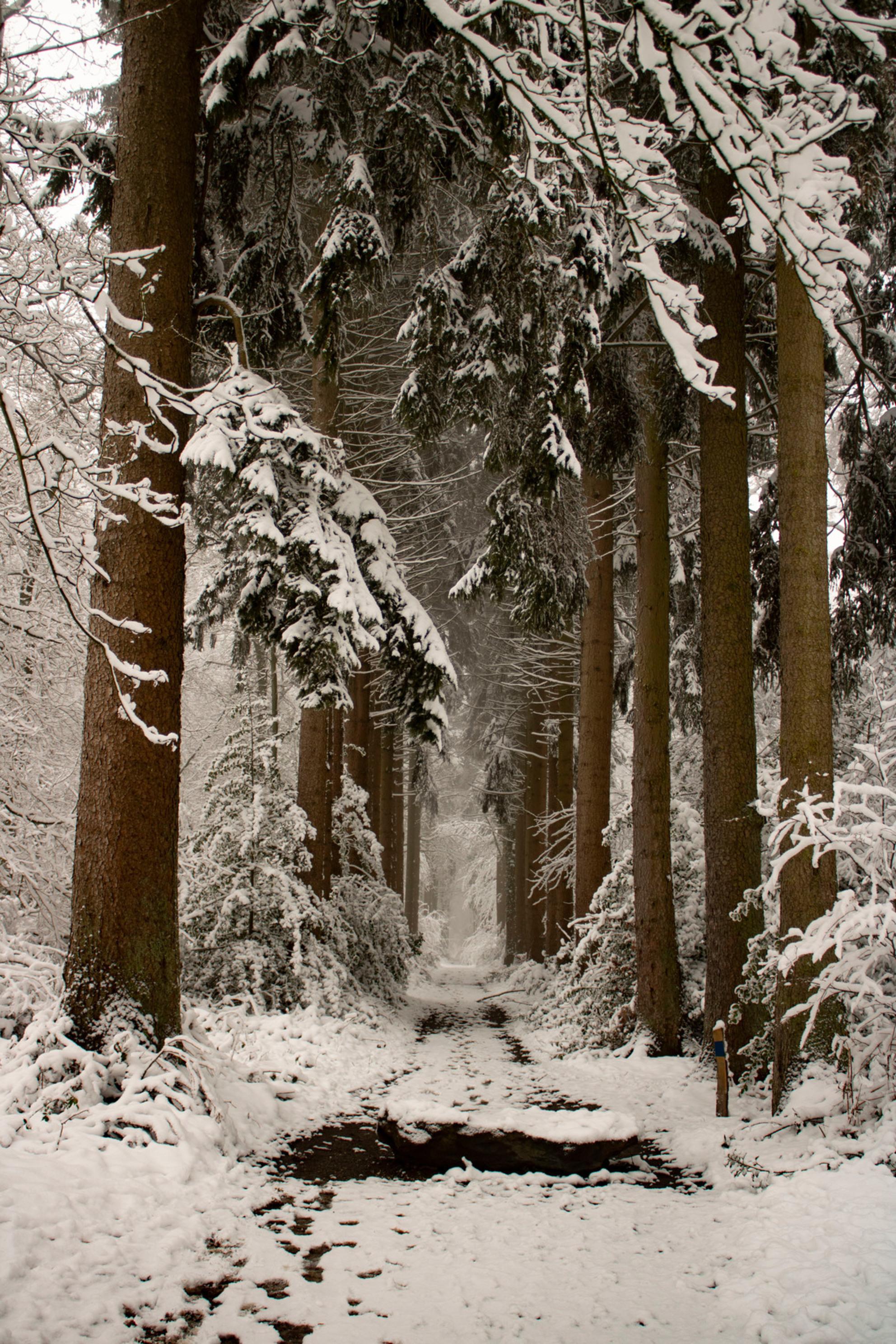 Winterse Ochtend - Ochtendwandeling door het besneeuwde Vijlenerbos, Vijlen, Zuid-Limburg. - foto door Carla34 op 29-01-2021 - deze foto bevat: boom, natuur, ochtend, sneeuw, winter, landschap, bos, nederland, vijlen, vijlenerbos, zuid-limburg, winter wonderland - Deze foto mag gebruikt worden in een Zoom.nl publicatie