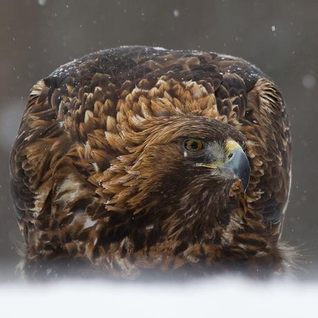 Steenarend in de sneeuw
