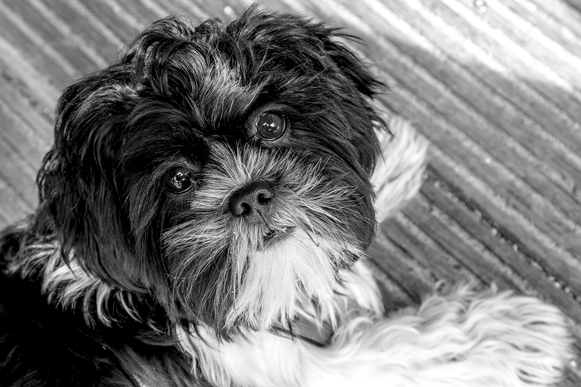 Chi chu - - - foto door leusmaster op 30-09-2014 - deze foto bevat: hond, b&w, Chi chu