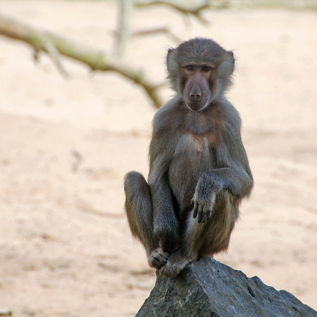 aap die aan zen doet