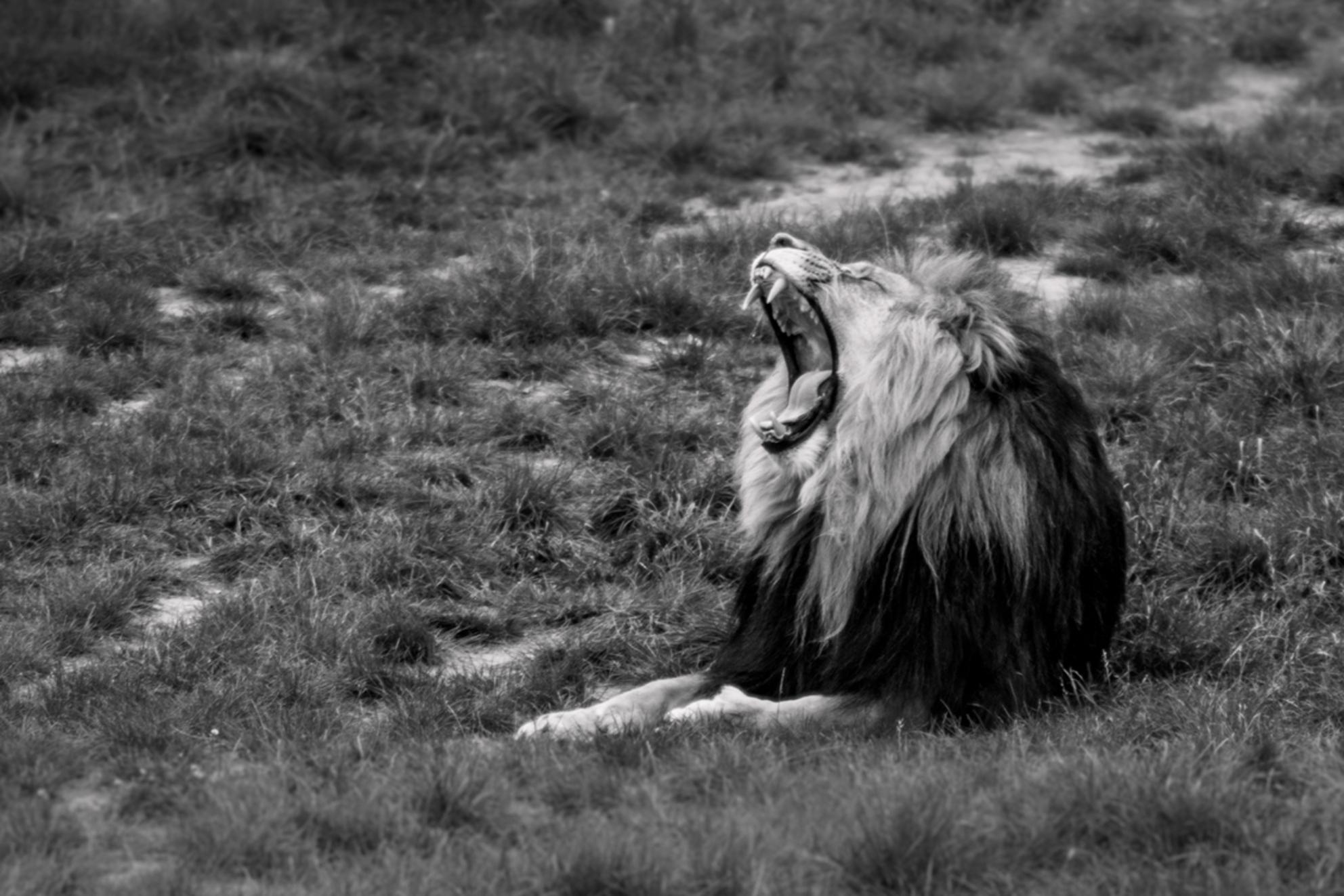 Leeuw Zwart Wit - Deze foto heb ik gemaakt tijdens het familie uitje naar de Beekse Bergen in deze corona periode. Volgens mij had deze leeuw ook door dat je 1.5m afst - foto door Donne op 28-10-2020 - deze foto bevat: dierentuin, leeuw