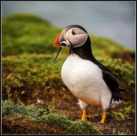 Papegaaiduiker op Lunga, Schotland.