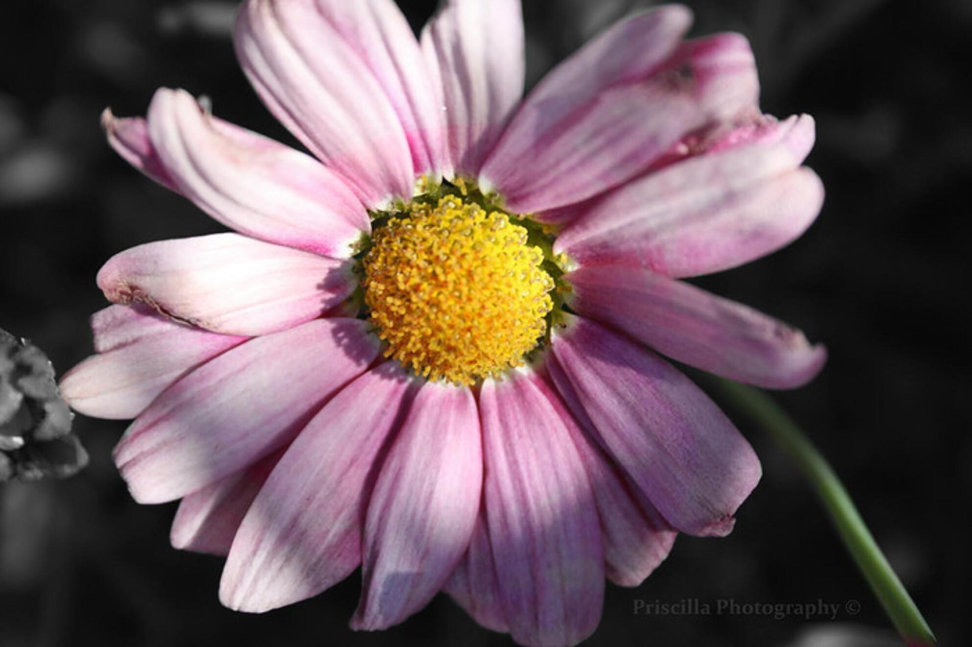 FLOWER - hier een foto van een bloem - foto door lecomte_zoom op 16-08-2011 - deze foto bevat: roze, macro, wit, bloem, zwart - Deze foto mag gebruikt worden in een Zoom.nl publicatie