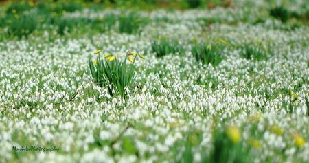 Een veld vol - Een veld vol voorjaarbloemen - foto door Marieke1962 op 28-02-2014 - deze foto bevat: voorjaar