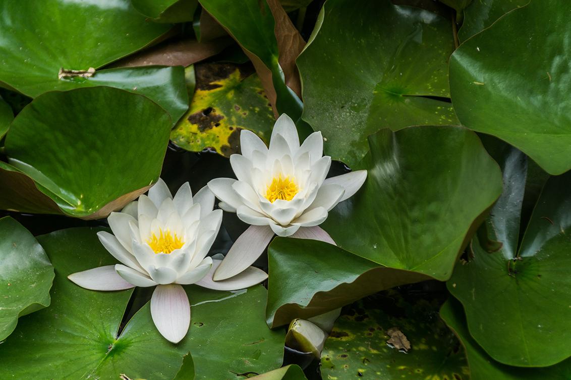 Watertweeling - Twee waterleliebloemen. Zag deze in het Centerparks park 'Kempervennen'. Was daar om naar meervallen te duiken, maar dit plaatje kon ik niet laten li - foto door Sake-van-Pelt op 23-06-2014 - deze foto bevat: groen, bloem, water, lente, natuur, geel, blad, voorjaar, nederland