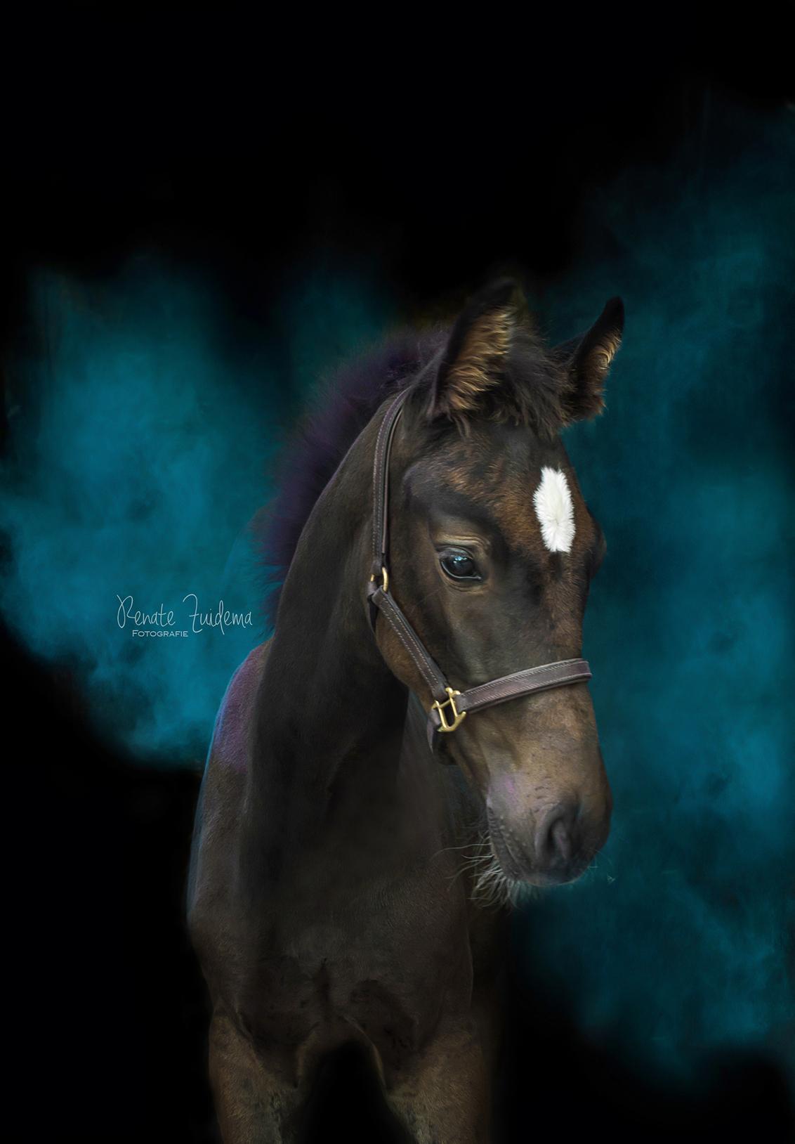 Pleasure to meet you - Veulentje Pleasure to meet you. - foto door RenateZuidemaFotografie op 03-02-2021 - deze foto bevat: kleur, blauw, paard, blue, veulen, veulentje, horse, kwpn, holi powder