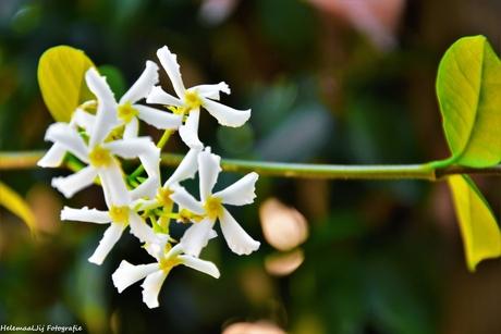 Jasmijn in bloei
