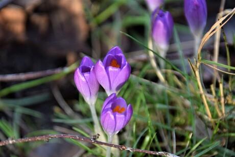 paars/lila