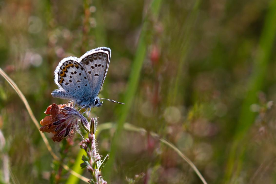 Blauwtje dus - Gisteren m'n allereerste blauwtje gefotografeerd. Eigenlijk vind ik de foto niet bijzonder genoeg om op Zoom te zetten, maar m'n broertje vroeg erom  - foto door brinkbeest op 21-07-2013 - deze foto bevat: macro, natuur, vlinder, blauwtje, heide