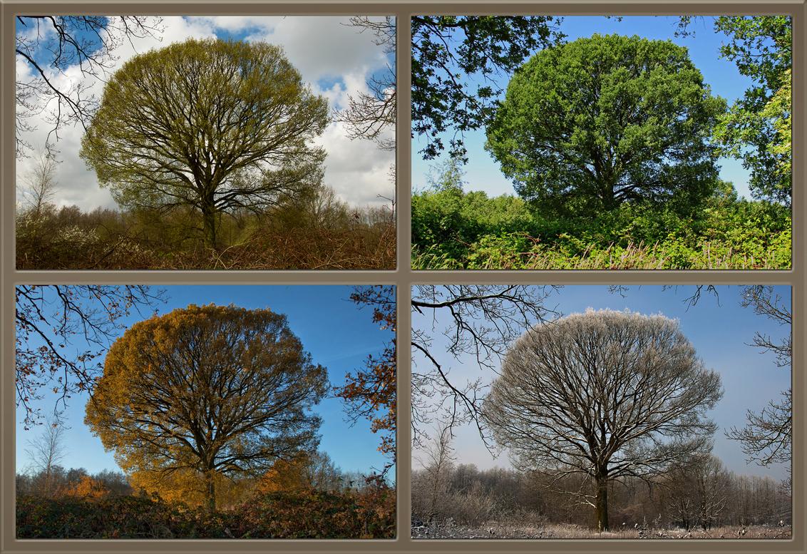 Vier Jaargetijden. - Voor Zoomers die wel eens naar mijn fotos kijken zal dit wel geen onverwachte collage zijn zeker? - foto door kosmopol op 16-04-2012 - deze foto bevat: boom, collage, seizoenen, kosmopol