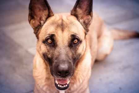 Bella de herdershond - Bella de duitse herder. Dit is mijn herdershond en een uitstekend dierlijk model om mijn camera te leren kennen. - foto door Tgoorhuis op 10-07-2017 - deze foto bevat: huisdier, hond, dog, herder, jong, duitse, kruising, bordeaux, shepherd
