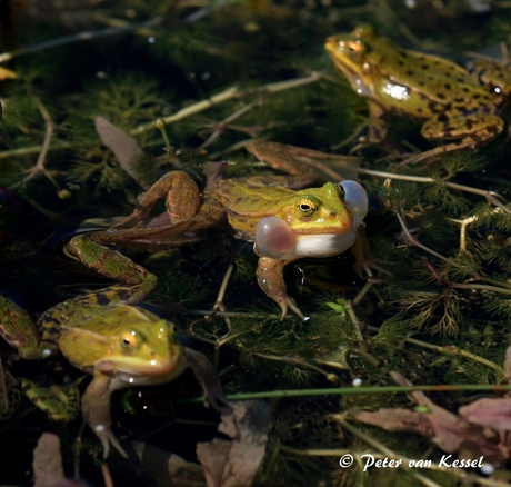 Bubble gum Frog