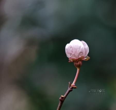 Fris voorjaar... - Fris voorjaar Dank voor de comments bij de vorige upload. Ben druk aan het oefenen met m'n nieuwe camera. Word er al een beetje blij van... :-) - foto door PinkRosePictures op 18-03-2021 - deze foto bevat: groen, donker, macro, natuur, druppel, bloesem, dof
