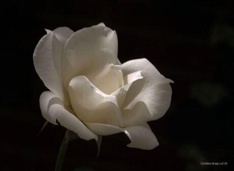 Gewoon een mooie roos