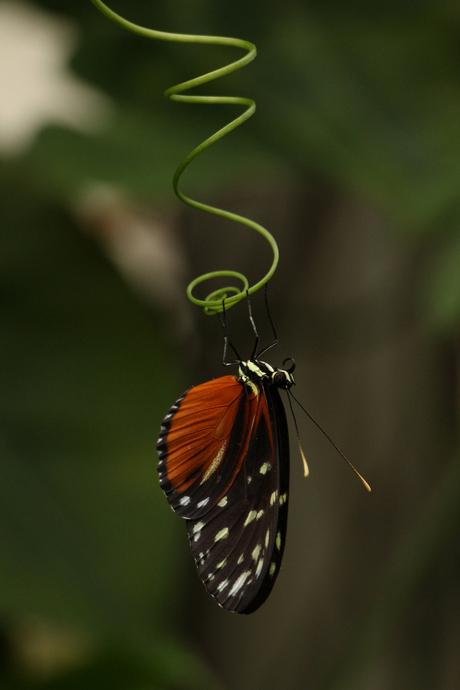Vlinder op (onder!) kronkeltak