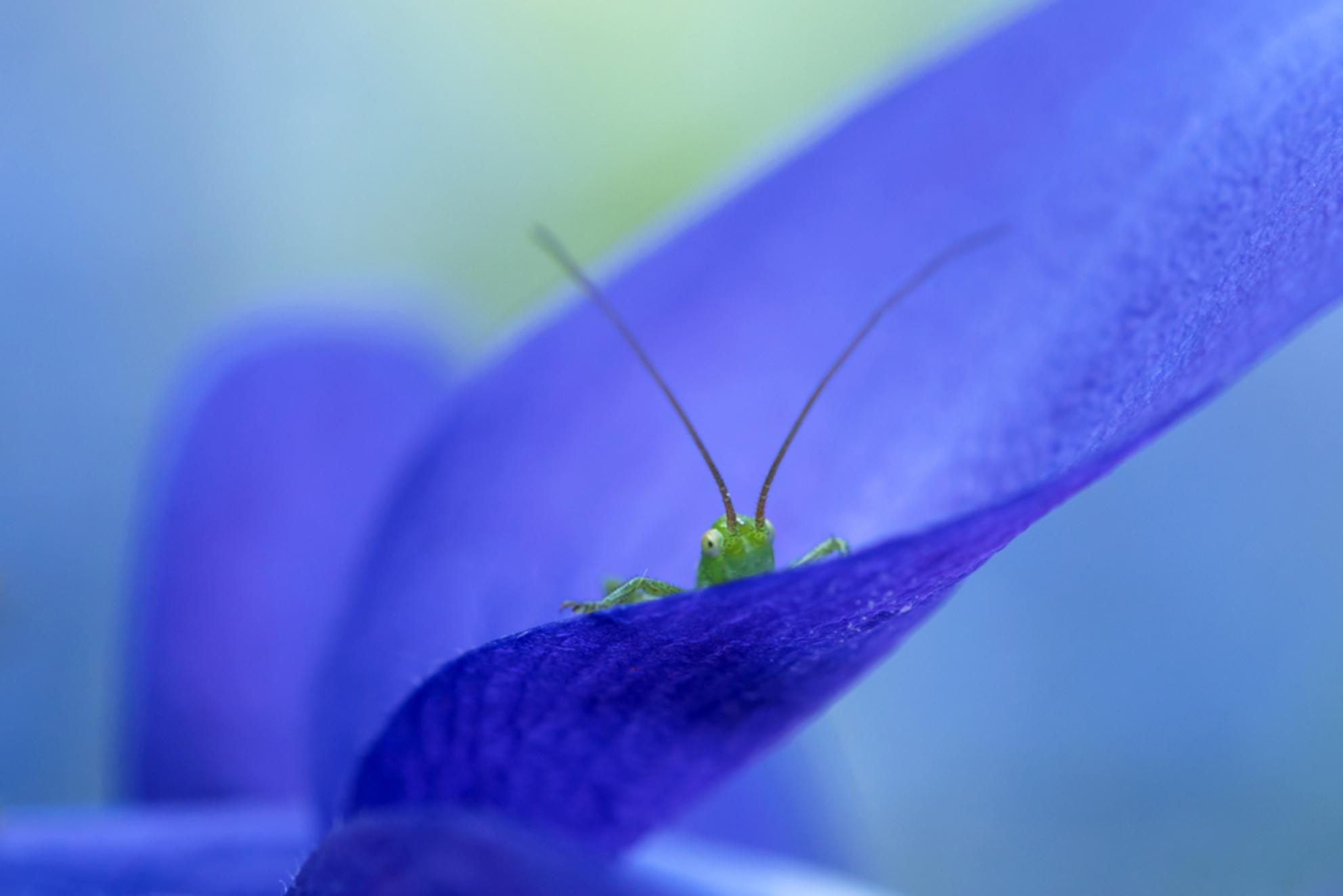 op de uitkijk - In de tuin springen veel sprinkhaantjes rond, ze zijn nog piepklein en eten alle bloemen op, maar dat vind ik niet erg want ze zijn wel erg leuk en f - foto door JeanneW op 24-05-2017 - deze foto bevat: macro, natuur, sprinkhaan