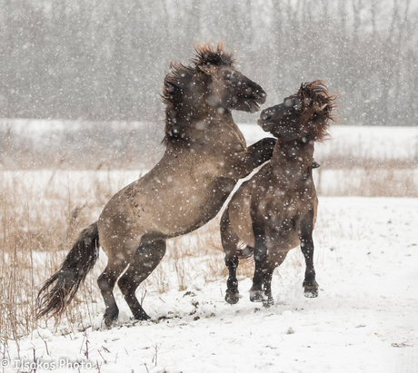 fight in the snow ovp