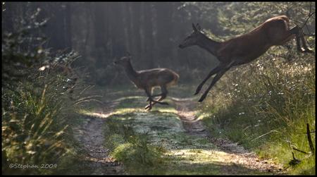 Op de vlucht 2 - Het vervolg van de vorige upload, maar nu de hinde met kalf uit de groep herten die vluchtend het bospad overstaken. Gr stephan - foto door wildspotter op 30-09-2009 - deze foto bevat: edelhert, hinde, herten, kalf, wildspotter, hertenkalf
