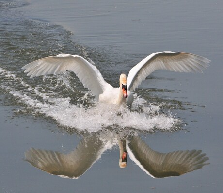 landing van een zwaan