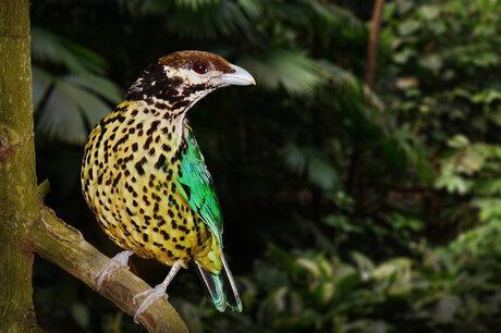 Witkeel Katvogel (Ailuroedus Buccoides)