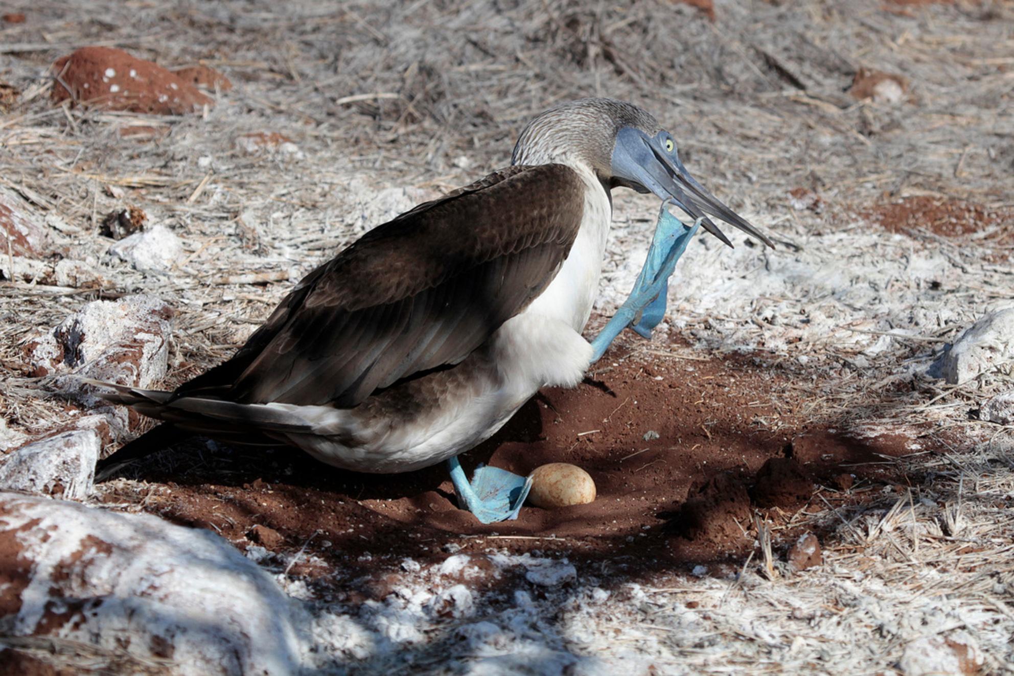 Blauwvoetgent - een blauwvoet Jan van Gent in de Galapagos. Niet bang voor mensen en je loopt zo tussen de nesten door...heel bijzonder - foto door Lathyrus op 21-09-2013 - deze foto bevat: galapagos, vogelnest, jan van gent, blauwvoetgent
