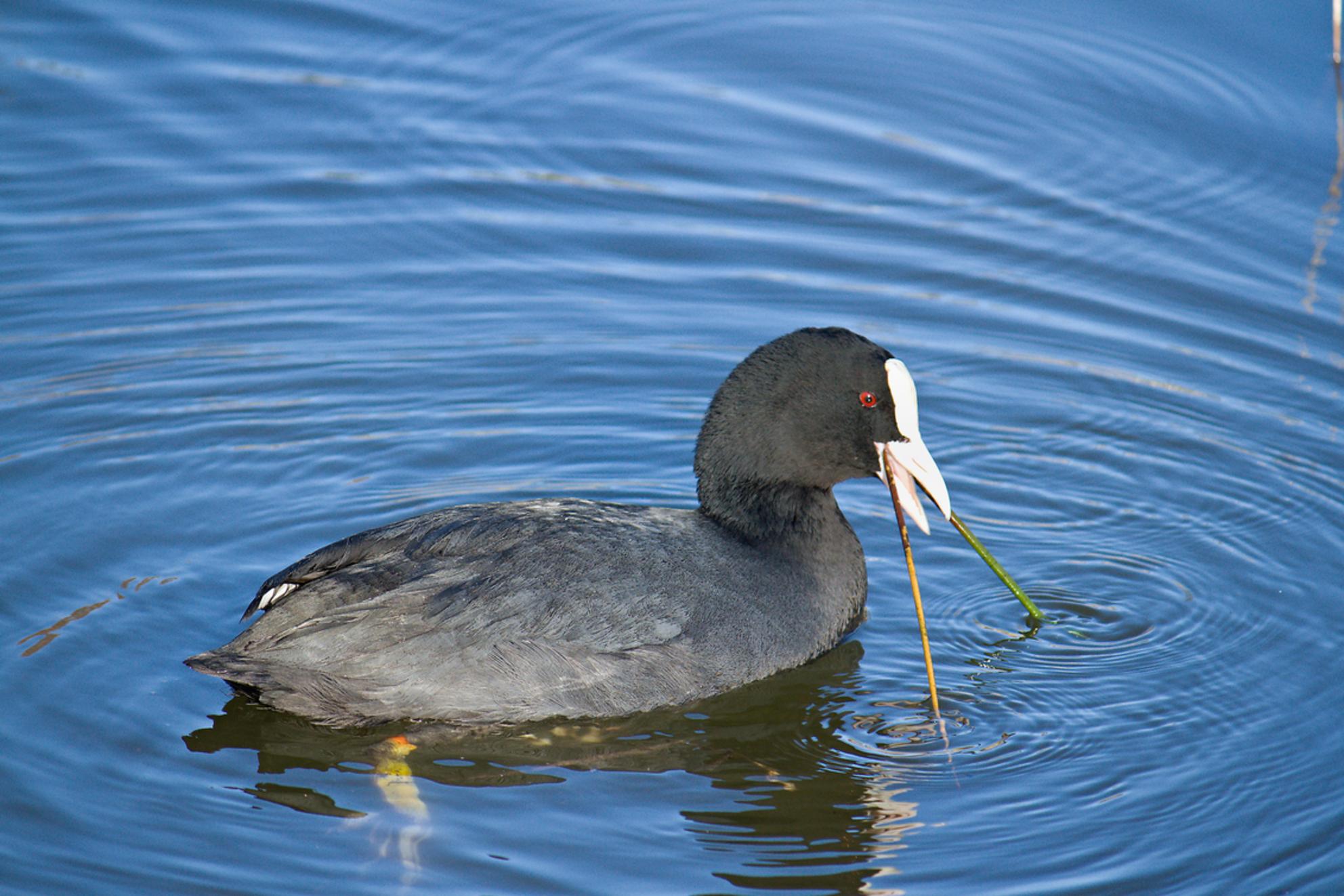Meerkoet met nestmateriaal - Meerkoet met nestmateriaal. - foto door janbruijns op 01-03-2021 - deze foto bevat: watervogel
