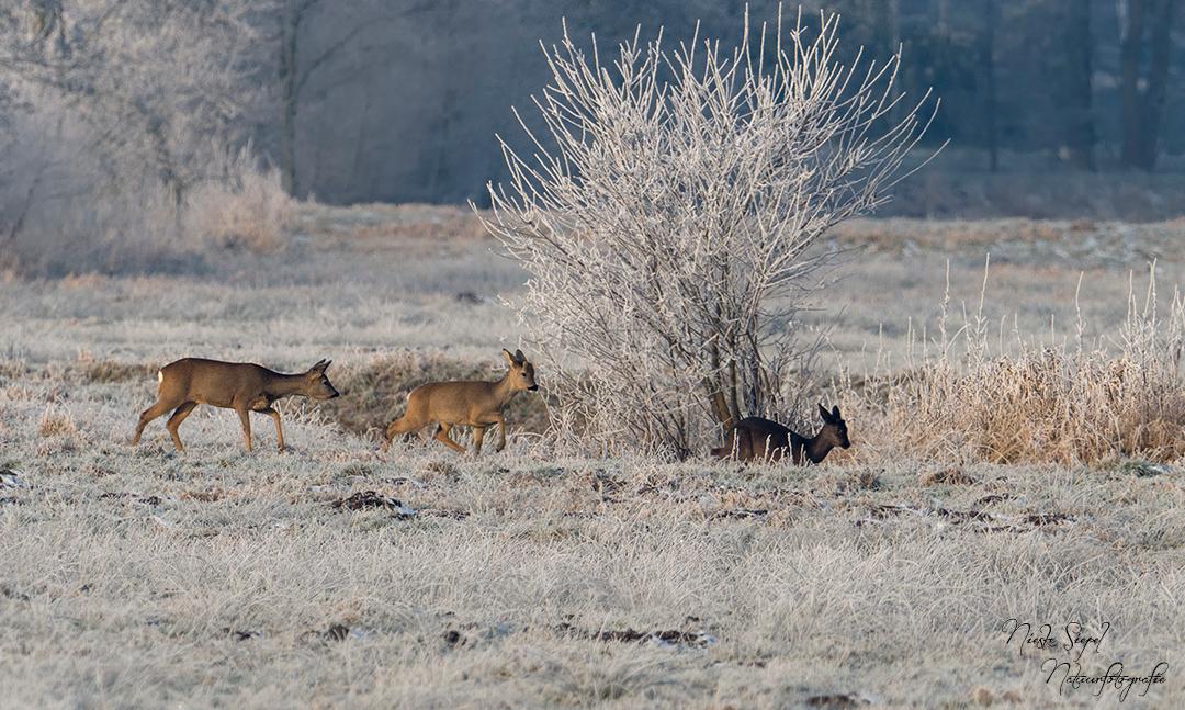 Witte wereld.. - en bruine reeën! - foto door BNN op 18-01-2017 - deze foto bevat: natuur, sneeuw, rijp, dieren, reeen, bnn
