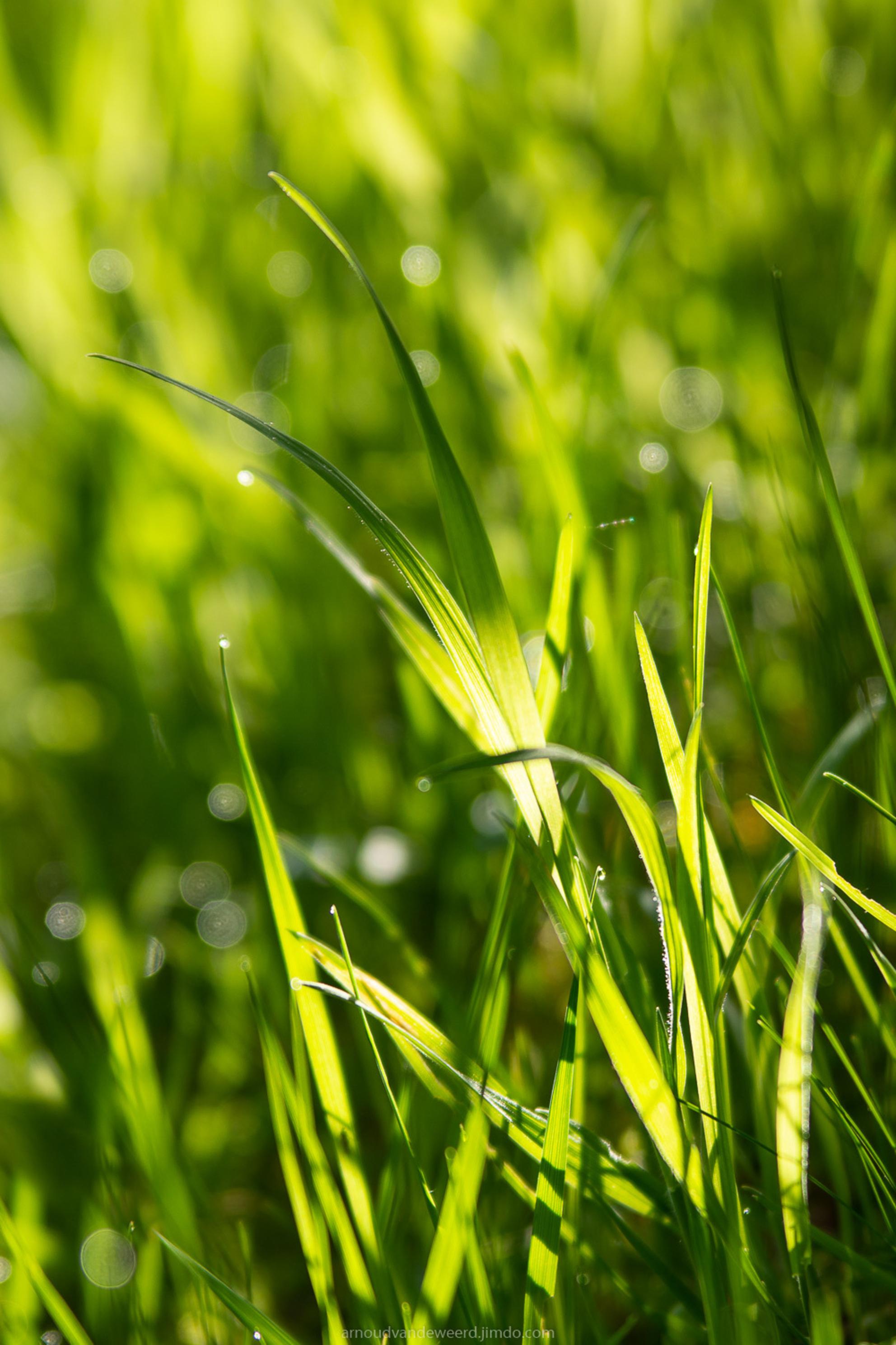 50 shades of green ;-) - Wanneer het licht mooi is, heeft een goede foto eigenlijk niet zoveel nodig. Dat gaat op bij weidse landschapsfoto's maar dat vind ik ook gelden bij  - foto door Arnoud78 op 09-05-2018 - deze foto bevat: gras, groen, macro, lente, natuur, licht, dauw, dof, bokeh