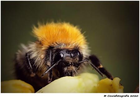 Hommel - Alvast bedankt voor jullie reacties.  Gr, Johannes - foto door cowiefotografie op 24-12-2020 - deze foto bevat: macro, hommel, natuur, bruin, geel, tuin, insect, dof