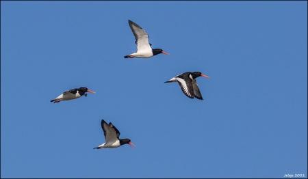 Scholeksters. - - - foto door ikjel op 03-03-2021 - deze foto bevat: lucht, natuur, dieren, vogel, scholeksters