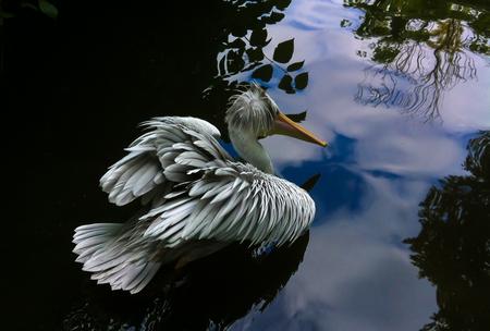 Big bird - Pelican, bathed in the dark water of a lake... - foto door samards op 08-09-2016 - deze foto bevat: water, nature, flying, sun, bird, wildlife, lake, valley, rest, summer, floating, animal, feathers, wing, pelican, protection, season, scenic, swims